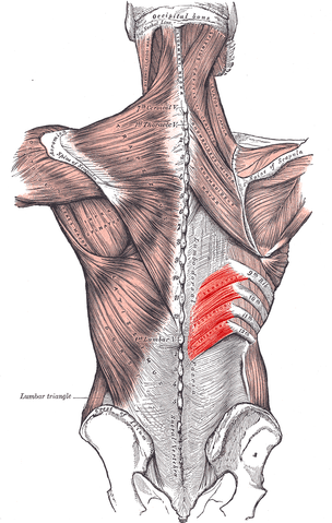 Serratus Posterior Inferior